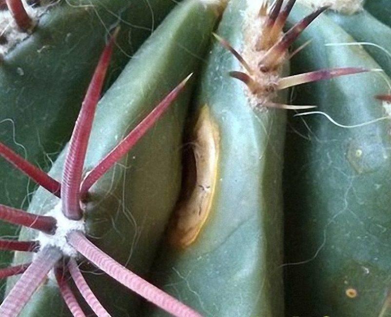 Один из видов гниения – поражение кактуса белой пятнистостью
