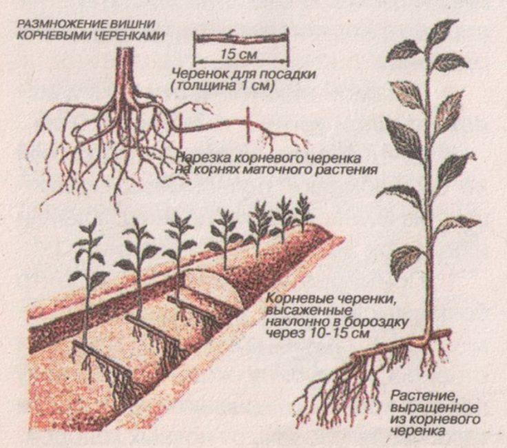 Схема размножения сливы корневыми черенками