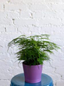Аспарагус комнатный: виды, правила ухода и методы размножения в домашних условиях, польза и вред | (50+ Фото & Видео) +Отзывы