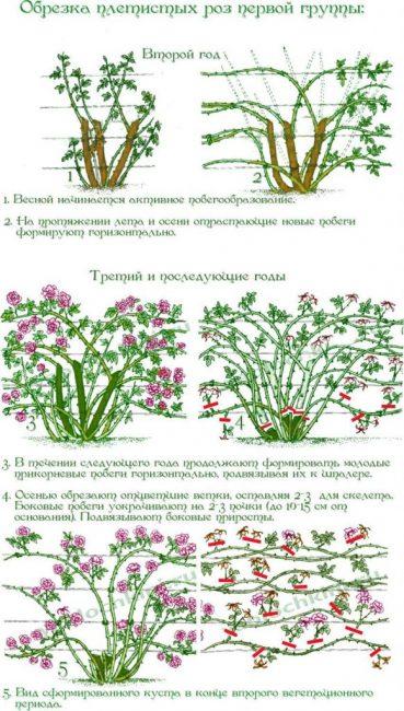 Правильная схема обрезки растения по годам