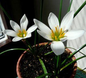 Зефирантес в домашних условиях: виды и сорта, руководство по уходу в зимнее время и размножению | (60+ Фото & Видео) +Отзывы