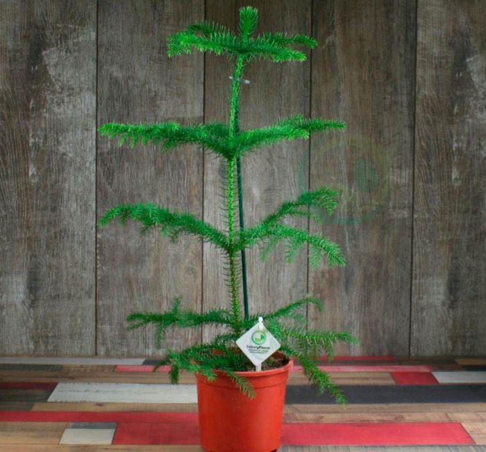 Араукария (комнатная ель)