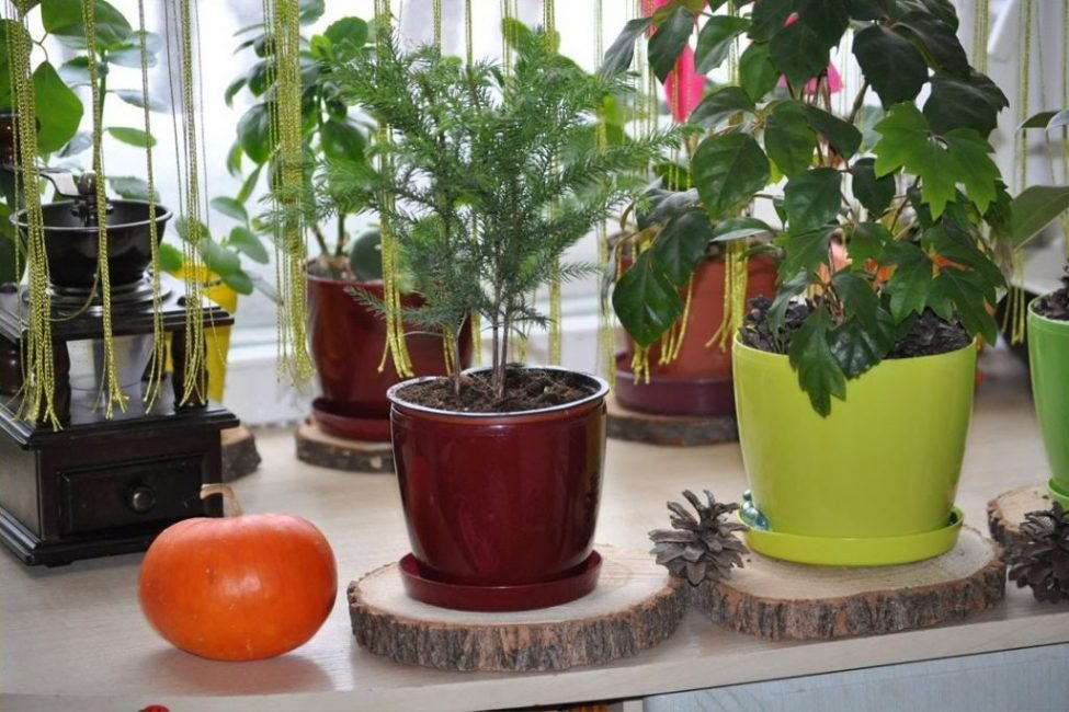 Араукария комнатная елочка