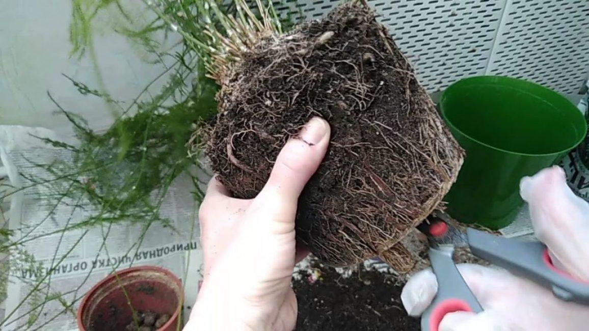 Аспарагус Шпренгера (Sprengeri) густоцветковый- описание и фото эфиопского комнатного растения вида Денсифлора с ярким названием Вивальди