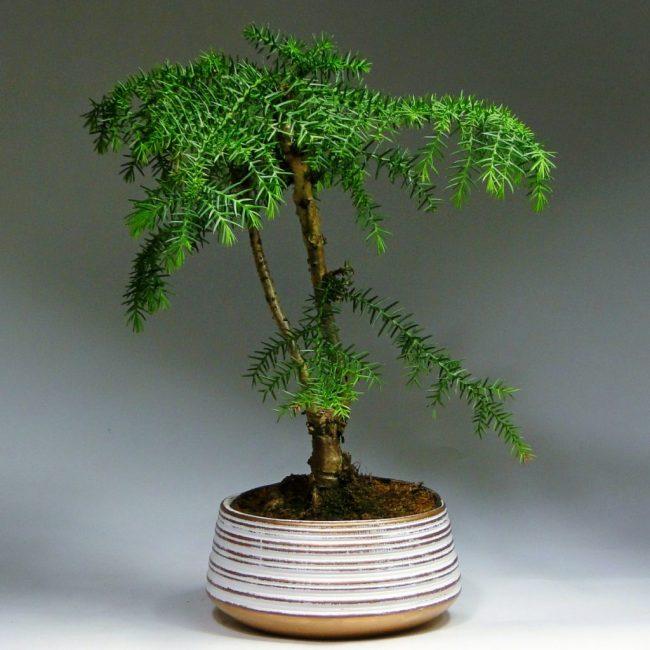 Композиции из растений - Бонсай араукария