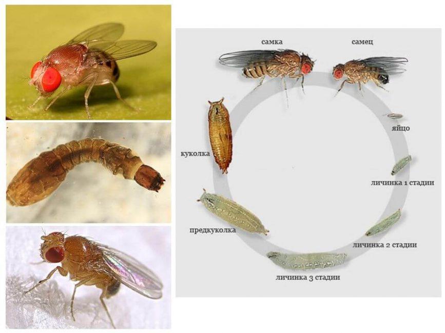 Мошки и их личинки