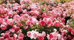 Polyanthus roses