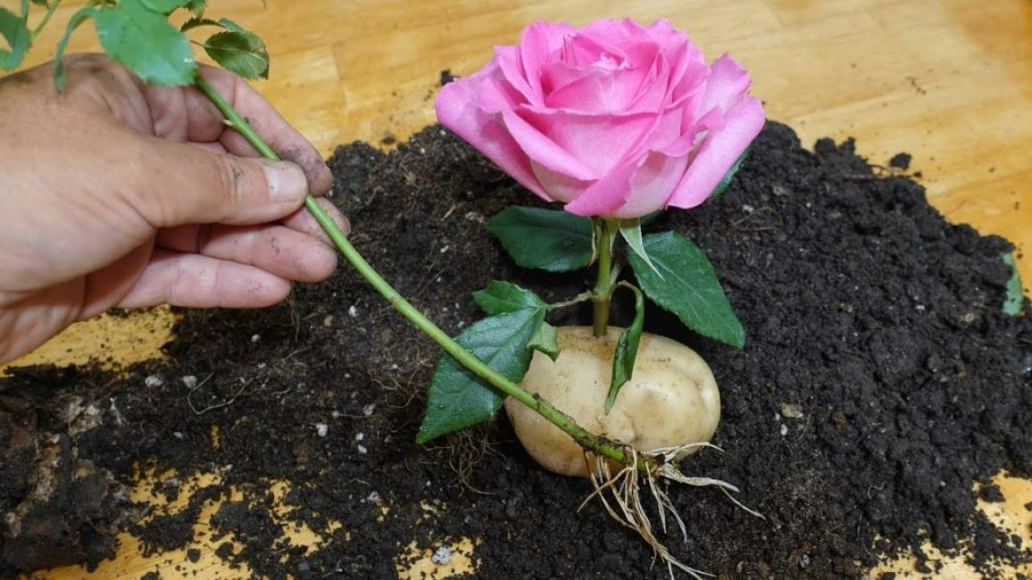 Проращивание роз в картошке