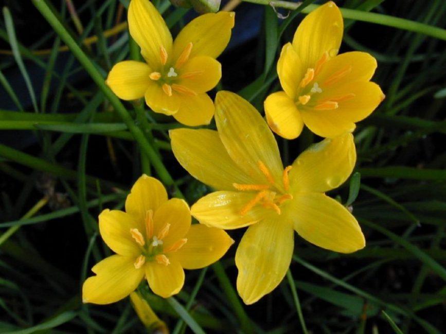 Разновидность Zephyranthes aurea
