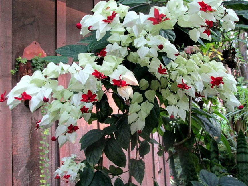 Роскошное цветение при отсутствии болезней и паразитов