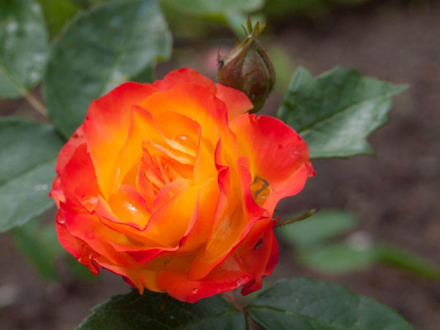 Роза полиантовая Румба