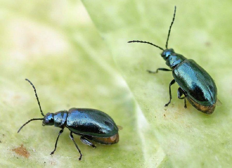 Сорняковая блошка – типичный представитель земляных блох