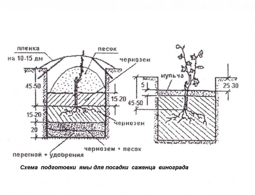 Техника посадки винограда саженцами, глубина посадки