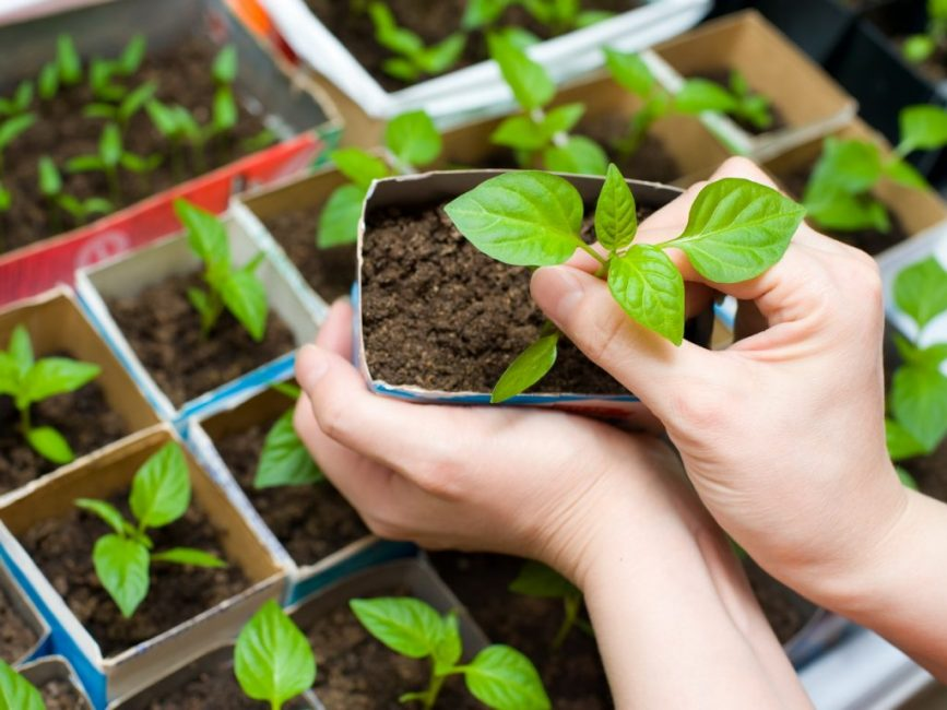 Технология выращивания рассады