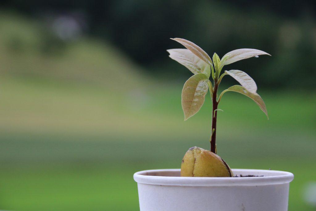 Агротехника Выращивания Авокадо из Косточки