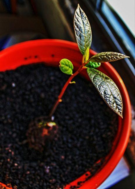 Вырастить фруктовое деревце из косточки под силу даже новичку.