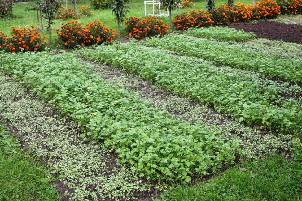 После сбора урожая сидераты в помощь