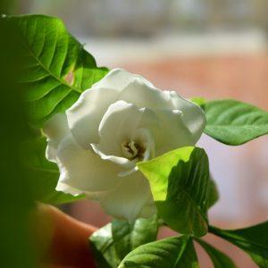 Гардения домашняя: уход после покупки, секреты выращивания и размножения для начинающих цветоводов, виды и сорта | (50+ Фото & Видео)