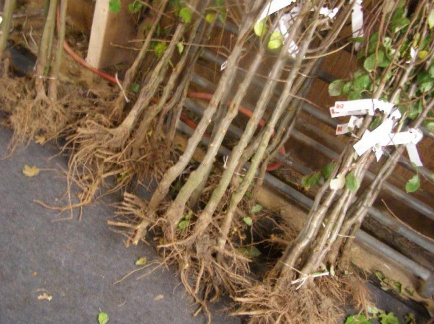 Саженцы с оголённой корневой системой