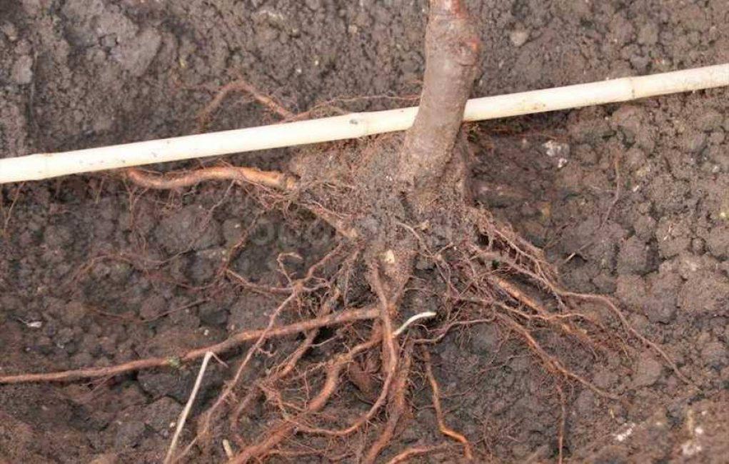 Чрезмерно сильно обрезанная корневая система