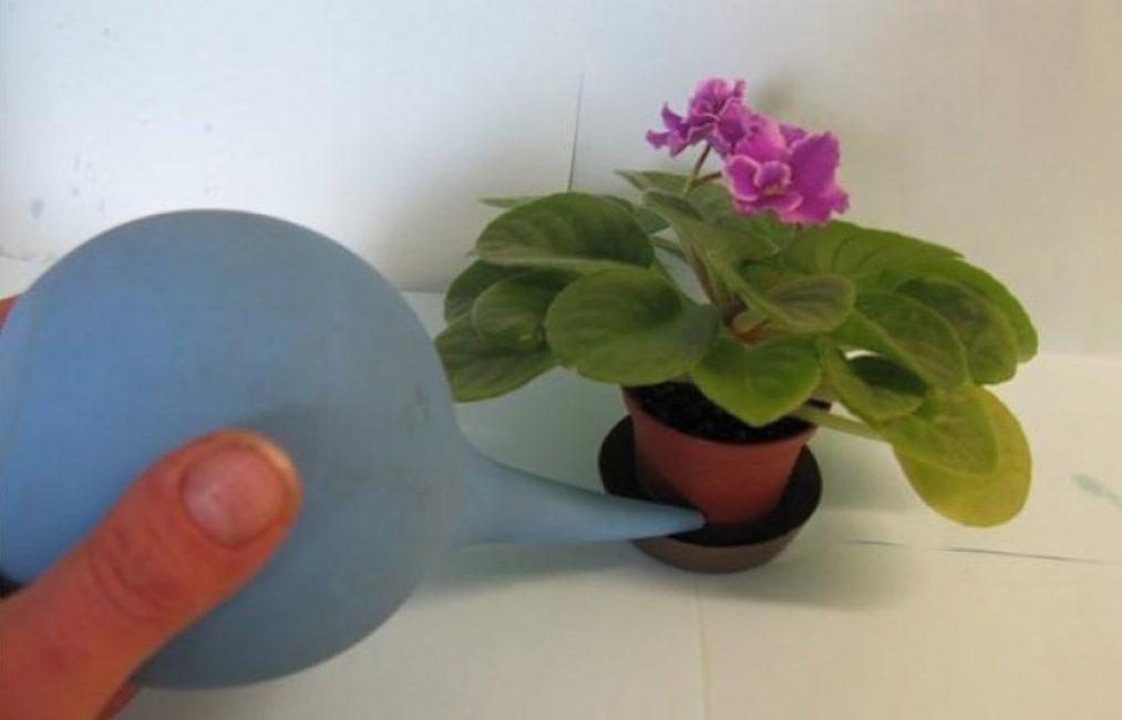 Влага не должна опадать на опушенные листья фиалки, поэтому лучше всего применять поливы через поддон