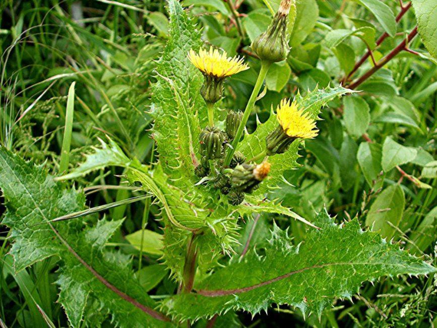Сорная трава через корни выделяет токсичные выделения