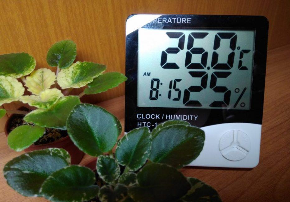 Фиалки без опушенных листьев сорта Мак Саутерн Спрингтайм, страдающие от условий пониженной влажности: на листьях заметны растрескавшиеся участки. Растение на заднем фоне росло в условиях недостаточного освещения