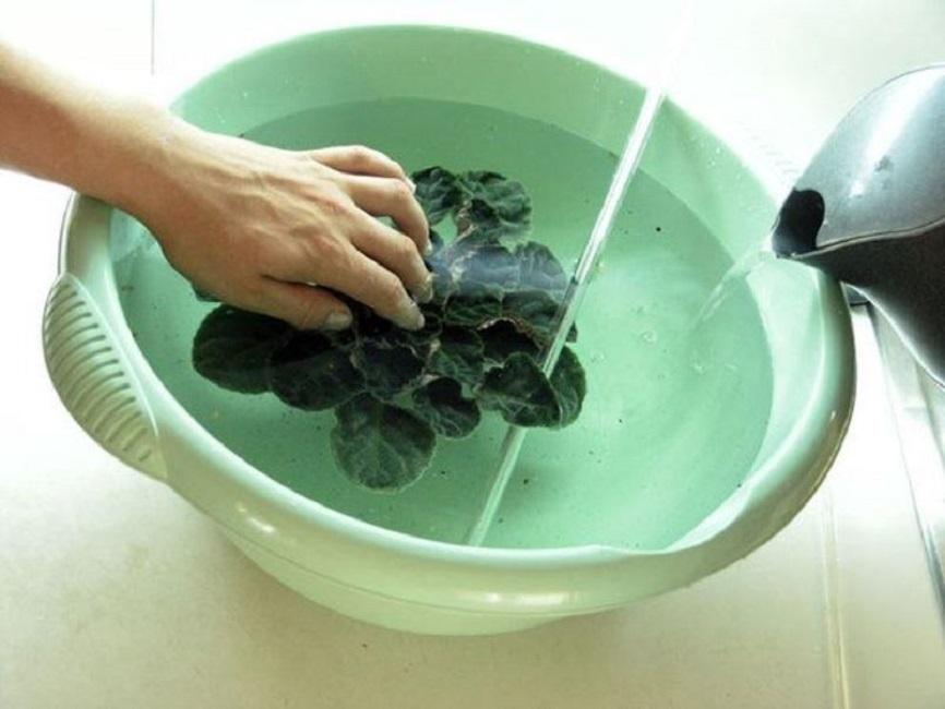 Экстремальное воздействие на фиалку теплой воды – полное погружение растения в тёплую воду