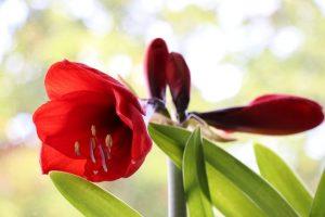 Амариллис: описание, уход в домашних условиях, размножение | (100+ Фото & Видео)