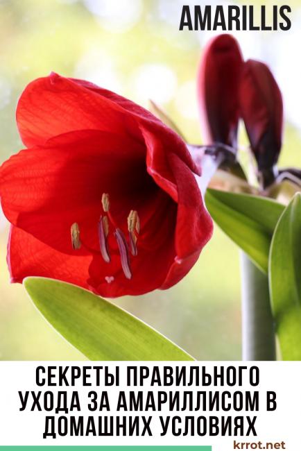 Амариллис: описание, уход в домашних условиях, размножение