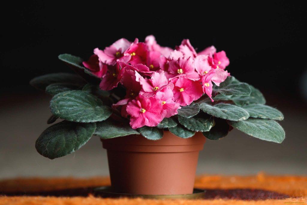 Почему не цветут фиалки - основные причины, способы их устранения
