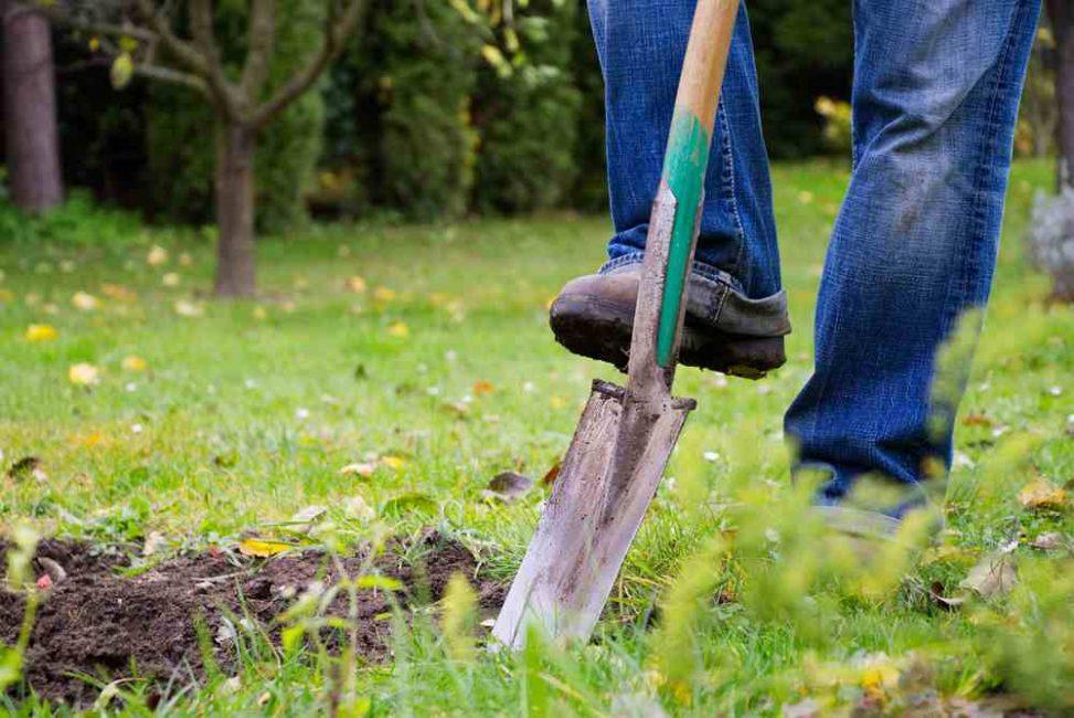 Если почва давно не обрабатывалась, то вскопать ее необходимо