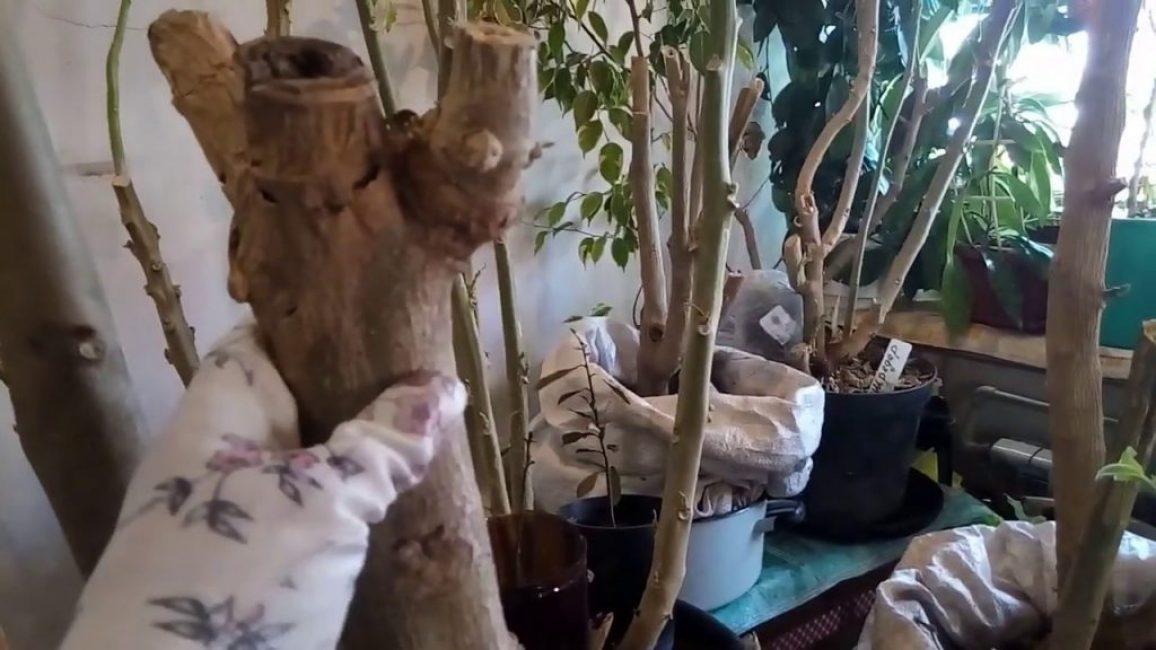 Бругмансия – зимовка