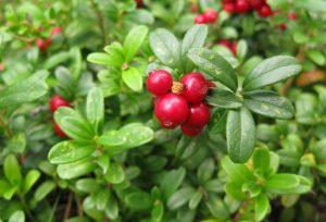 Брусника садовая: выращивание из семян и размножение кустарника, посадка и уход | (Фото & Видео) +Отзывы