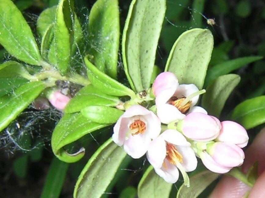 На побегах цветки собраны в кистевидные соцветия от 10 до 20 штук в каждом