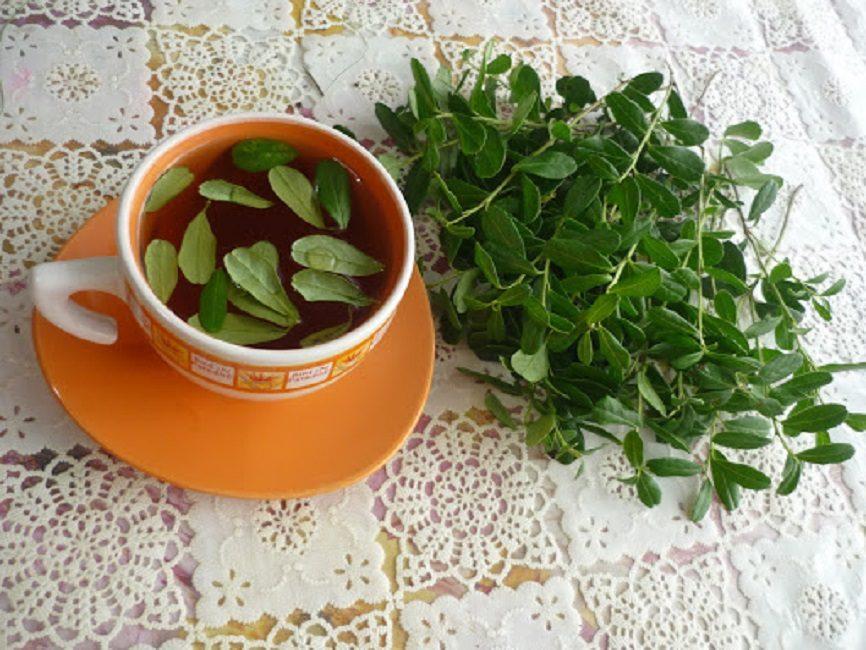 Обильное питьё отвара из листьев брусники используется в качестве вспомогательной терапии при лечении простудных заболеваний