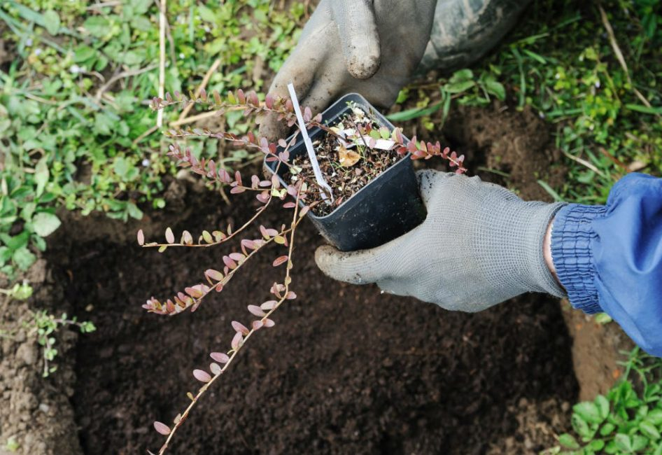 Перед высадкой необходимо заблаговременно подготовить площадку и почву