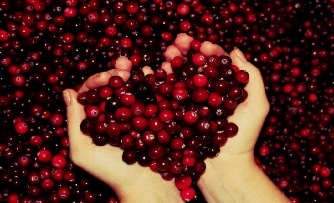 Плоды, представляющие собой красные шарообразные ягоды, могут иметь диаметр до 18 мм