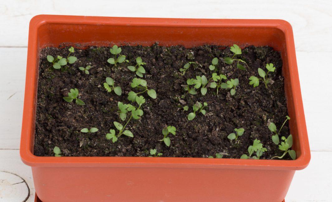 Цветок прострел: выращивание из семян