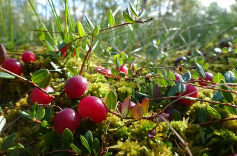 В качестве посадочного материала может использоваться черенок, срезанный с дикорастущего растения
