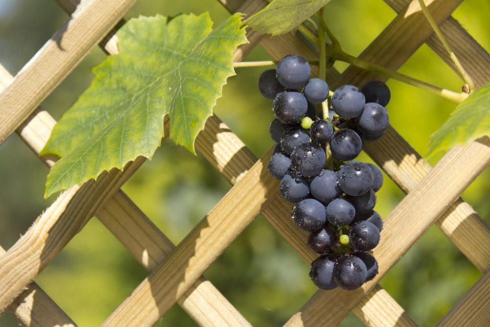 Растущий на опоре виноград удобно правильно формировать, проще обрабатывать от болезней и собирать поспевший урожай.