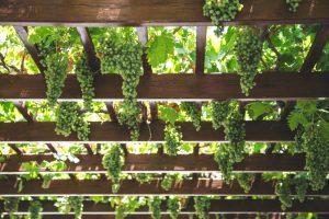 Шпалера для для подвязки винограда: инструкция с размерами и чертежами для изготовления своими руками | (Фото & Видео)+Отзывы