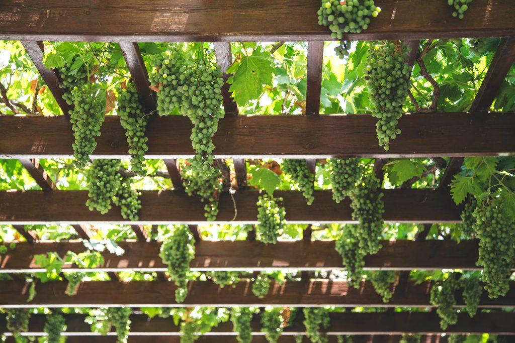 Кованая пергола для винограда