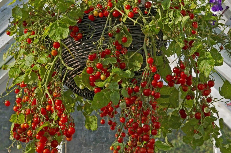 Ампельные томаты в подвесном горшке