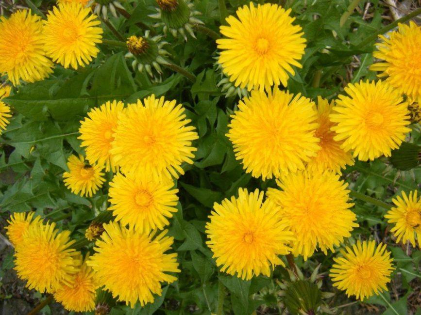 Вполне симпатичное, солнечное растение является злостным сорняком