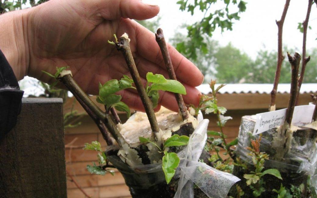 Прививка яблони в расщеп с обработкой места прививки садовым варом