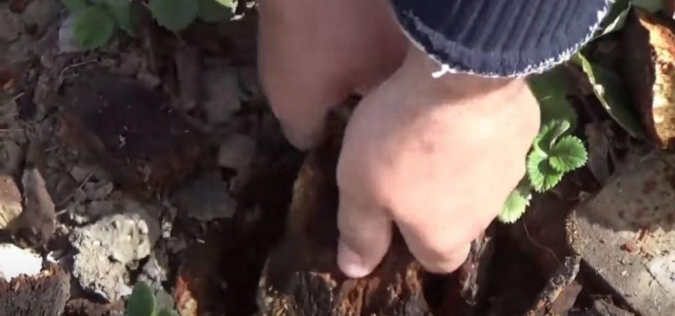 Остатки пня вытаскиваем руками