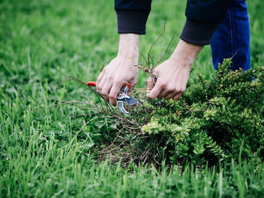 Важно удаление сорняков, которые разрастаются и забивают газонную траву