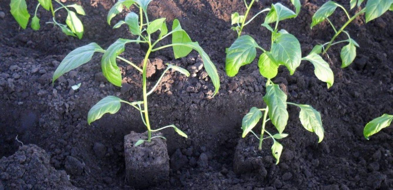 Высадка рассады перцев в открытый грунт