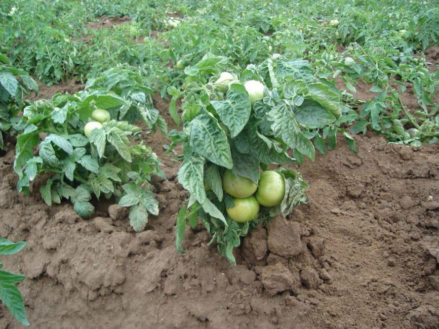 Так выглядят кустики детерминантных сортов томатов
